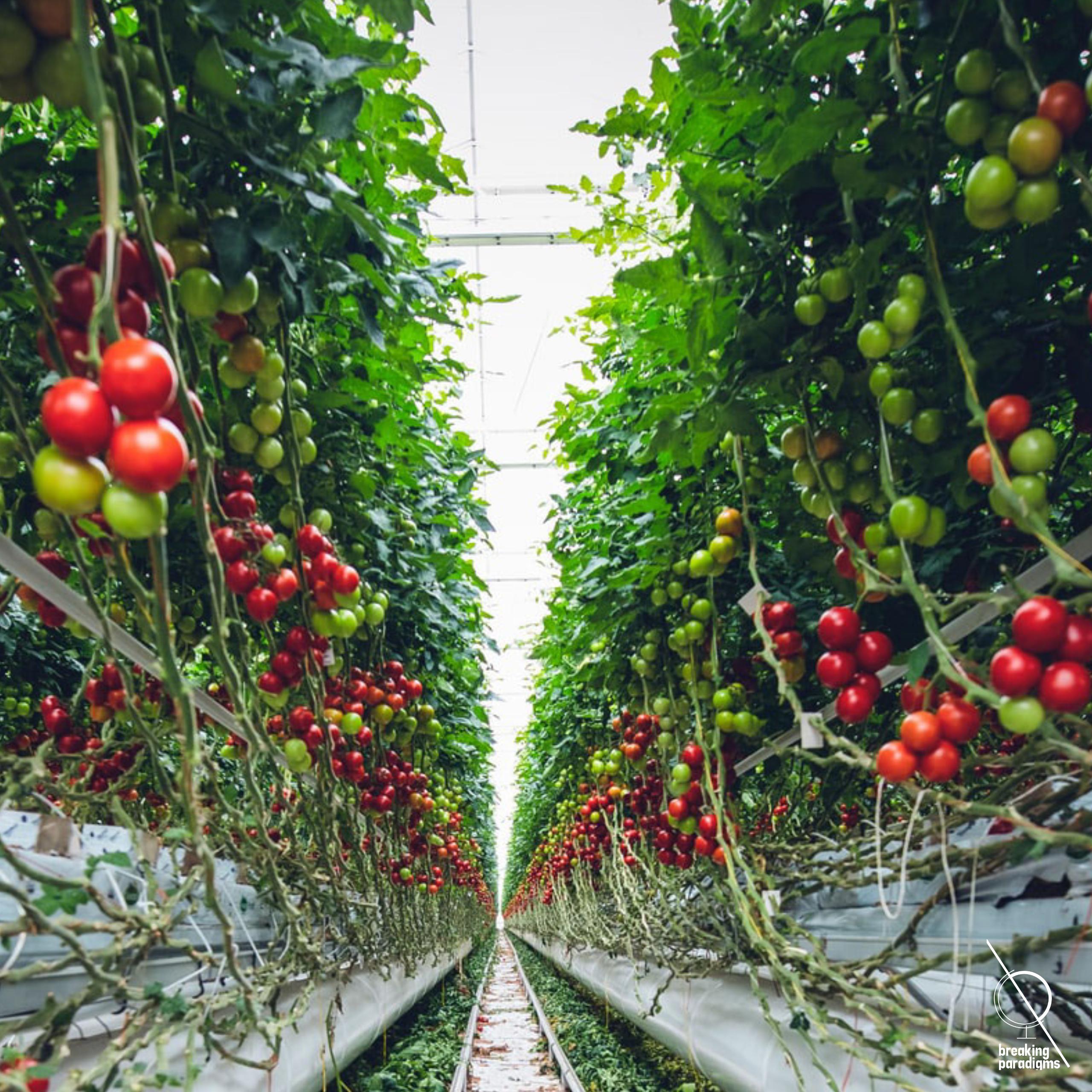 tomatoe plantation